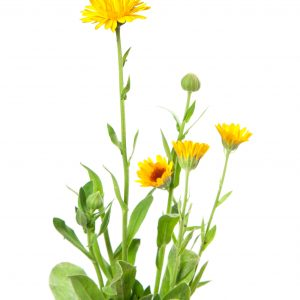 Calendula, eczema treatment