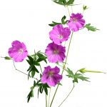 natural_skincare_ingredient_geranium-2