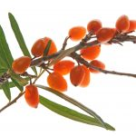 Natural skincare ingredient sea buckthorn oil