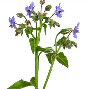 Borage oil, natural