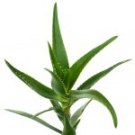 Natural skincare ingredient aloe vera