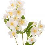 Natural skincare ingredient jasmine essential oil