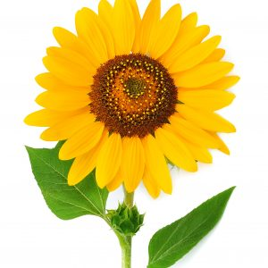 Natural skincare ingredient sunflower seed oil
